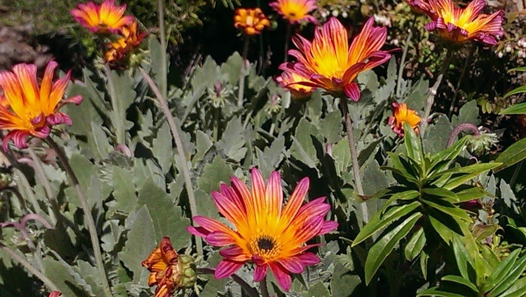 African daisies blooming in my garden