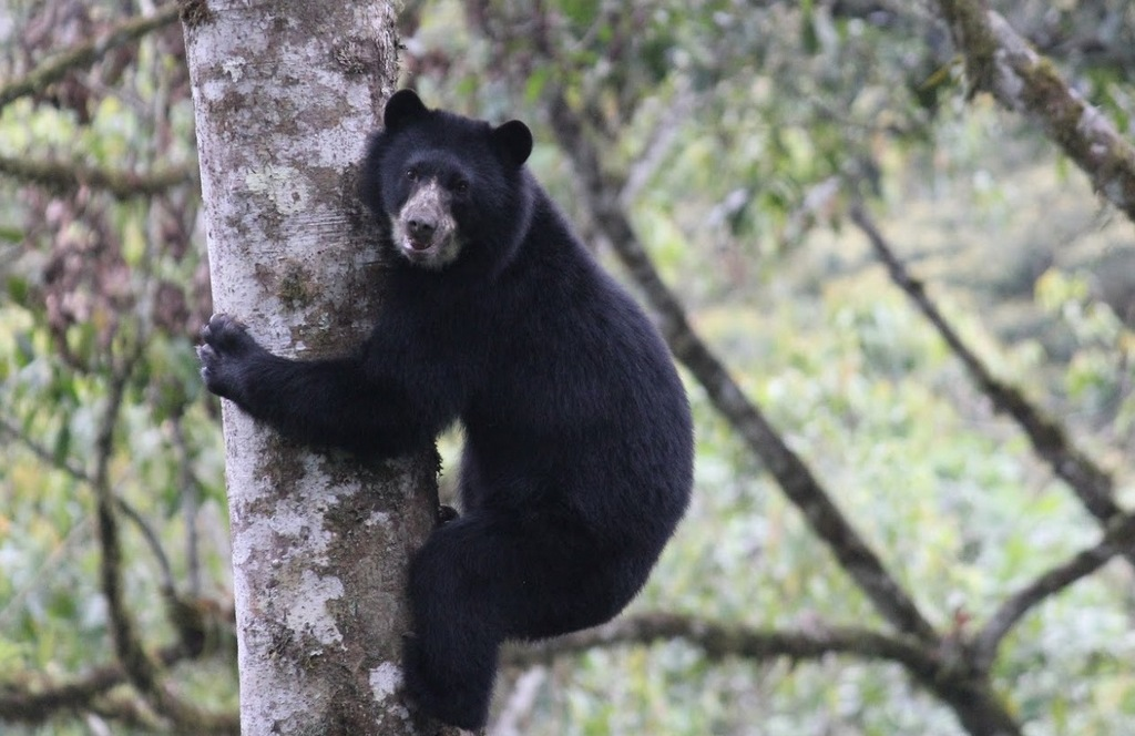 Spectacled Bear climbing a tree