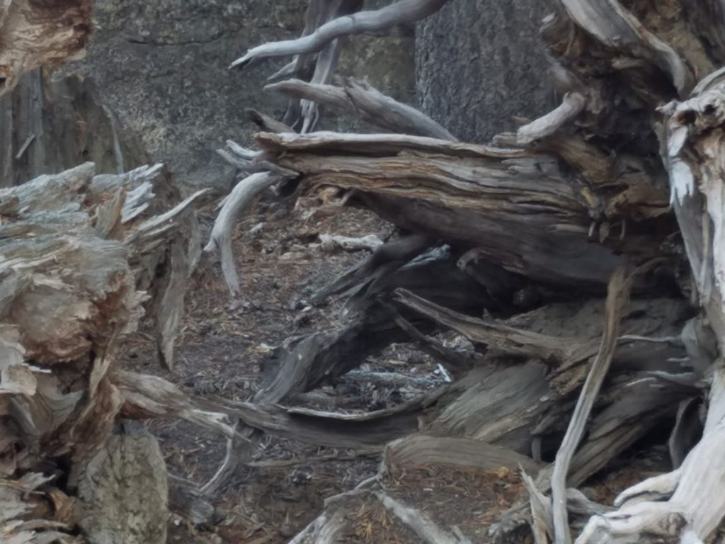 Beautiful roots in the Sierras