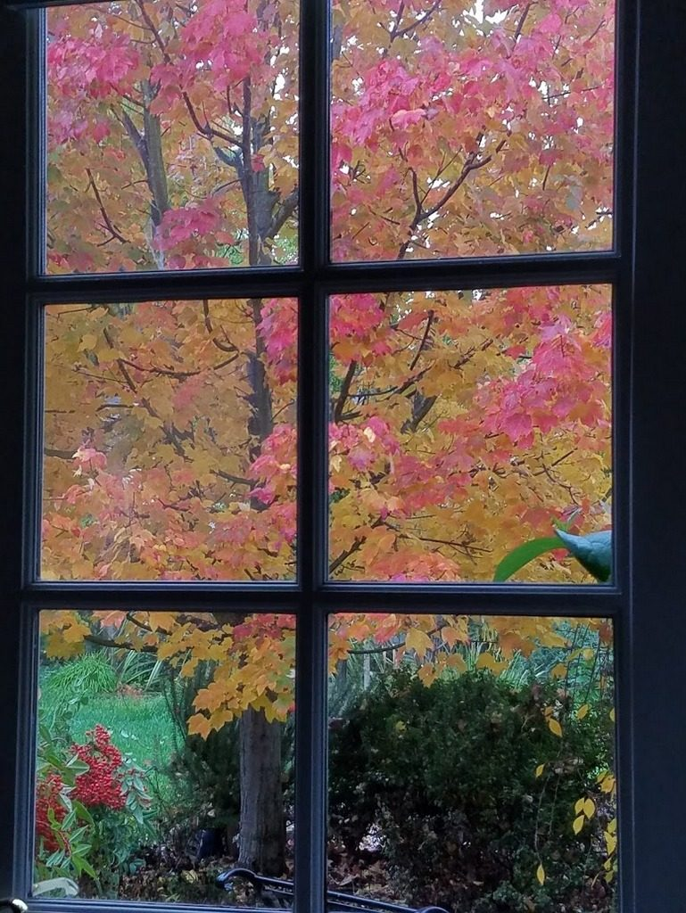 My maple tree in full glory