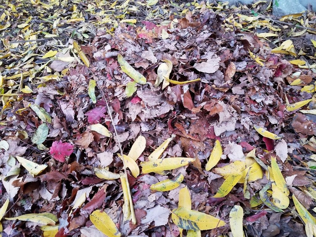 A pile of shredded fallen leaves in my garden