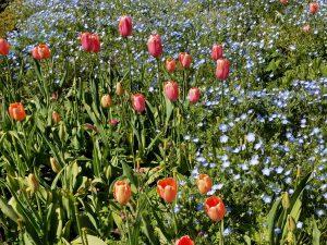 Orange pink tulips at Filoli Gardens