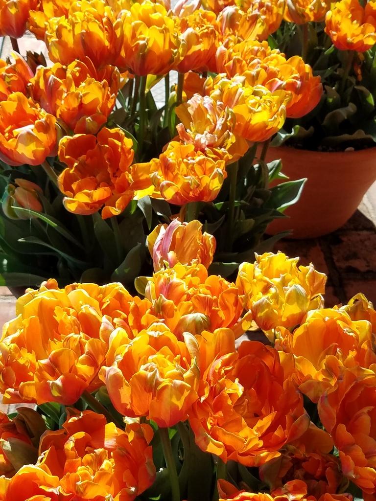 Orange tulips at Filoli Gardens