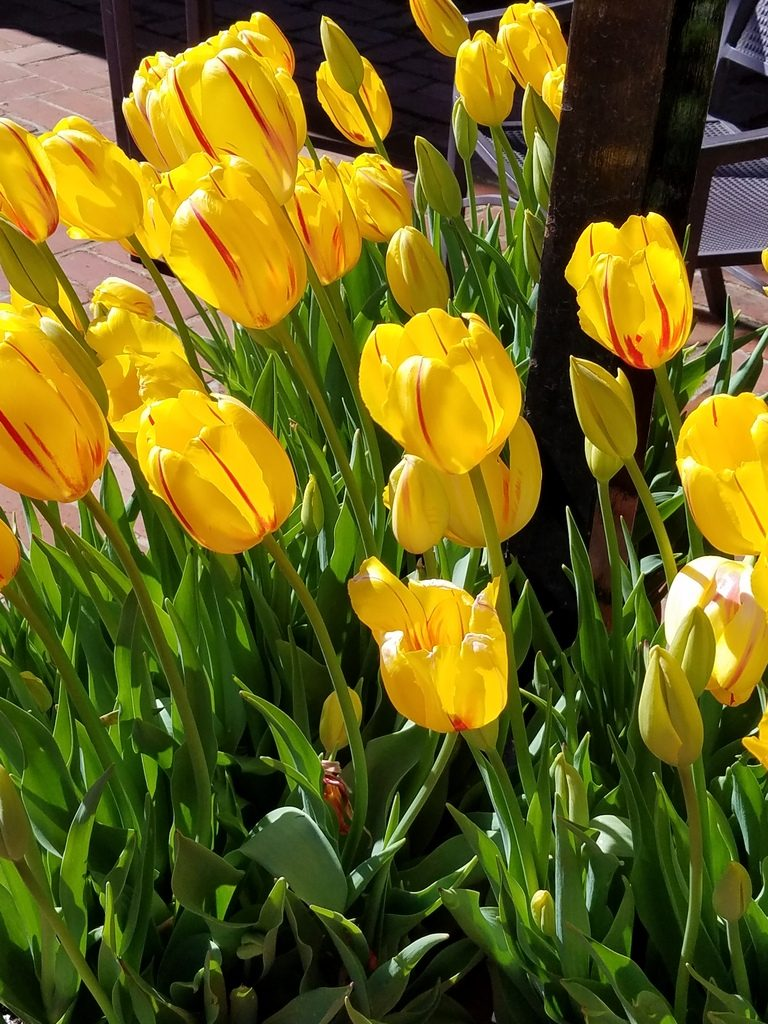 Yellow tulips at Filoli Gardens