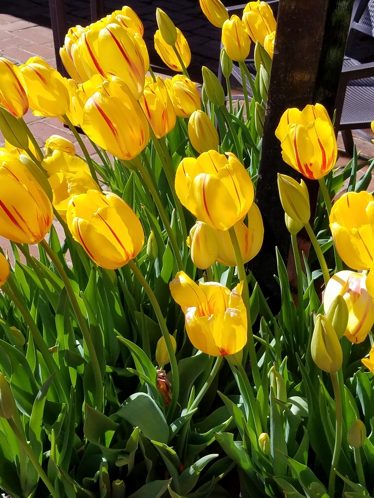 Yellow tulips at Filoli Gardens