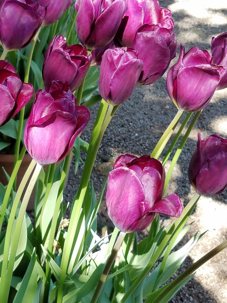 Purple tulips at Filoli Gardens