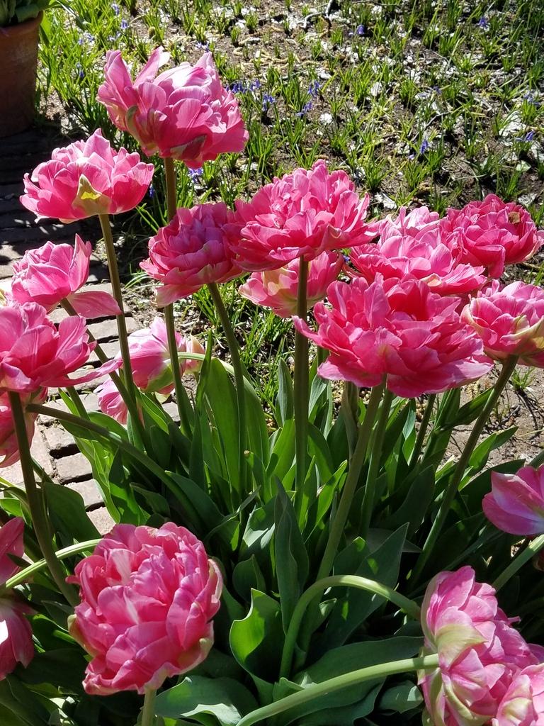 Fluffy pink tulips at Filoli gardens