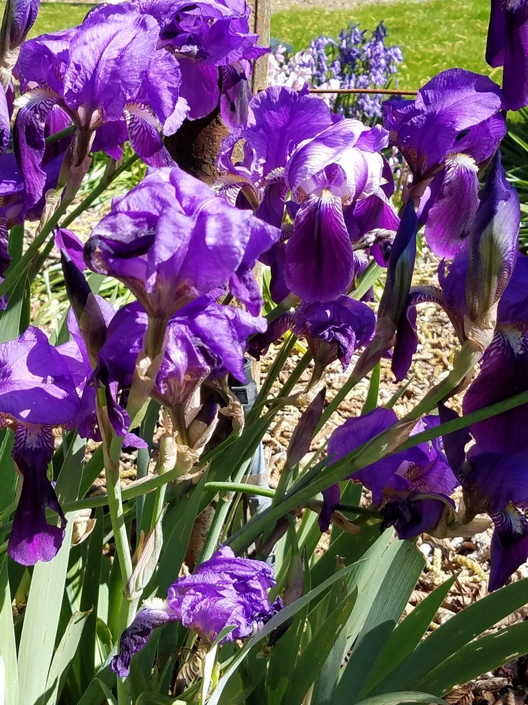 Purple irises at Filoli Gardens