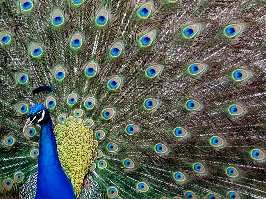 Peacock at Filoli Gardens