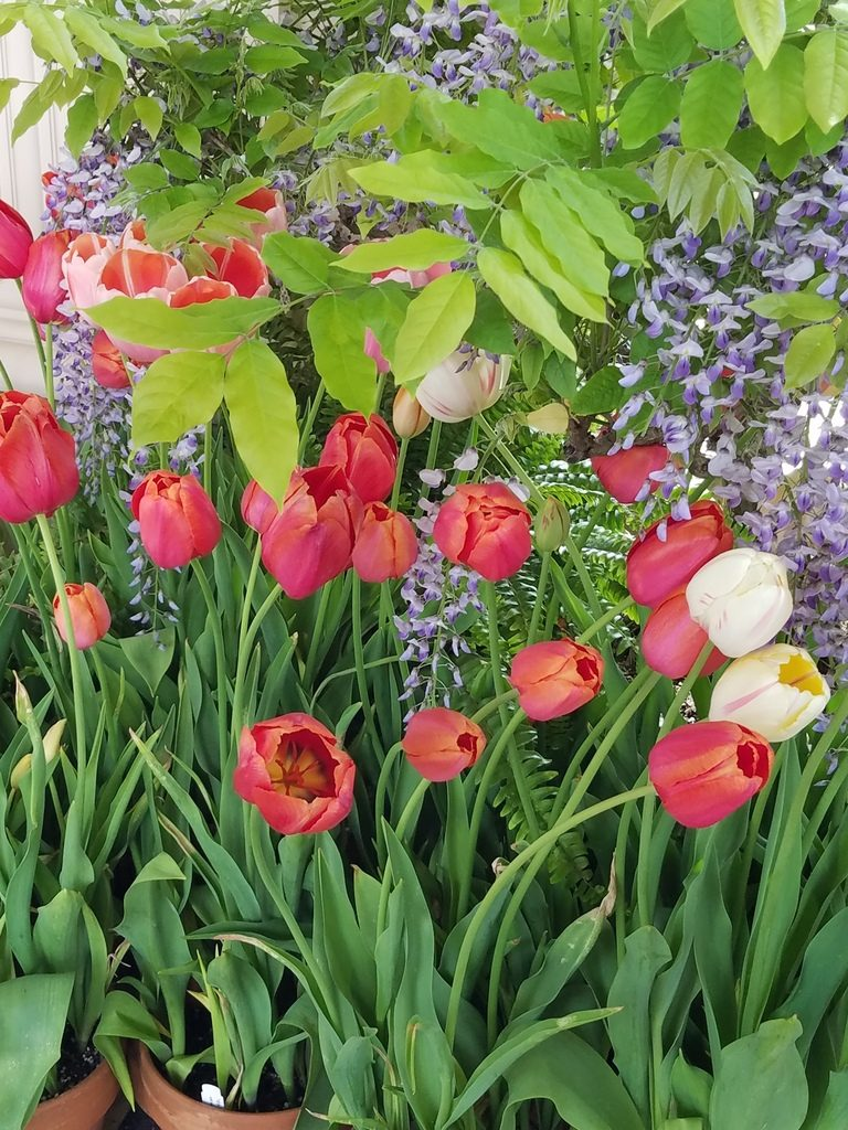 Tulips in Filoli
