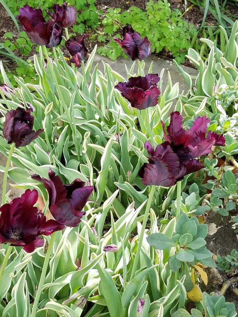 Feather-like tulips in Filoli
